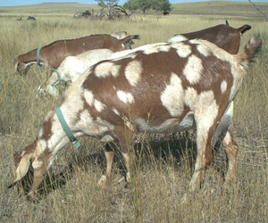 Nubians grazing on the South Dakota Prairie